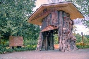 Big Cedar stump at Smokey Point in Arlington, WA